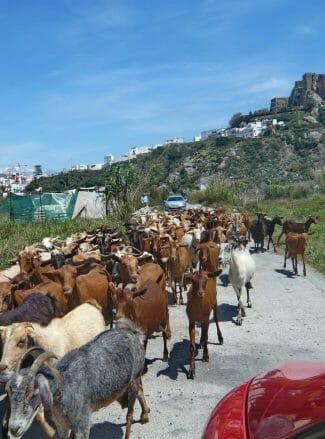 Eine Herde Ziegen vor dem Castillo de Salobreña