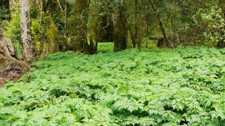 Die permanente Feuchtigkeit bietet gute Bedingungen für das Ausbreiten der Farne im Nationalpark Garajonay