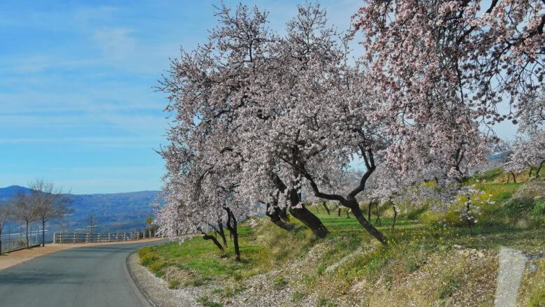Ende Februar: Mandelbaumblüte in den Alpujarras