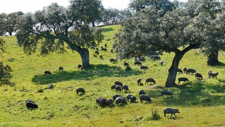 Schwarze Schweine weiden auf der Dehesa in der Provinz Huelva