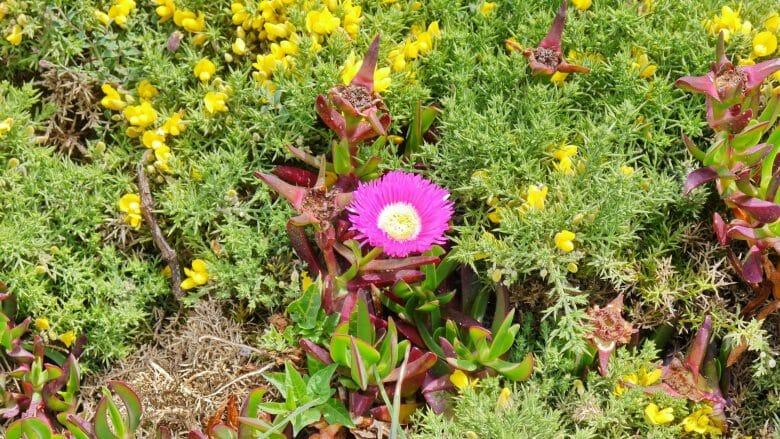 Frühlingsblumen auf der Estaca de Bares