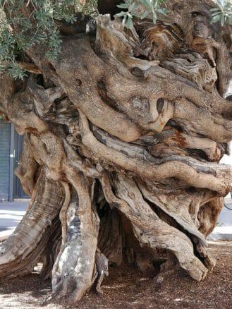 Stamm des alten Olivenbaums am Plaça de Cort in Palma de Mallorca