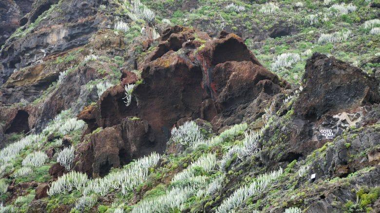 Das Lava-Gestein wird von Sukkulenten überwachsen