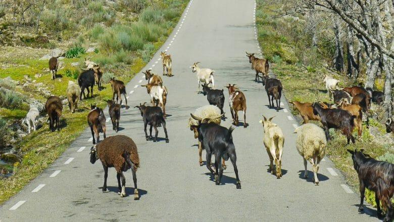 Ziegen auf der Straße sind in der Extremadura keine Seltenheit
