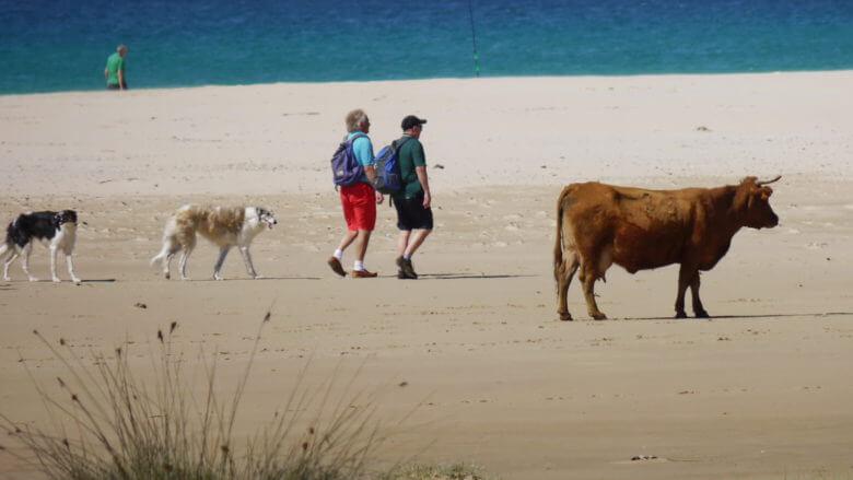 Frühling am Strand: Hund, Mensch und Kuh an der Playa Los Lances in Tarifa (Andalusien)