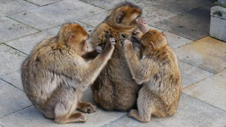 Affenkinder lausen die Mutter auf Apes Den