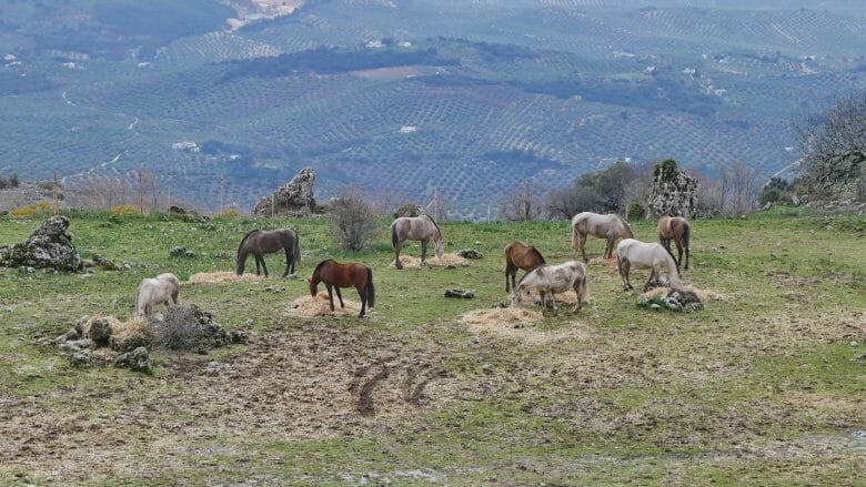 Pferde in den Sierras Subbéticas