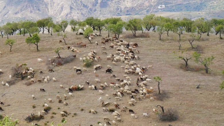 Herde von Schafen in den Alpujarras (Provinz Granada)