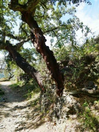 Korkeiche in der Sierra de Aracena