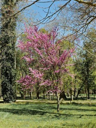 Blüte der Mandelbäume
